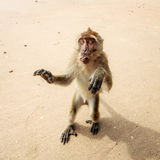 Monkey on the beach. Stock Photos