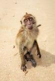 Monkey on the beach. Stock Photography