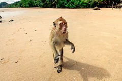 Monkey on the beach. Royalty Free Stock Image