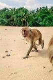Monkey on the beach. Royalty Free Stock Photo