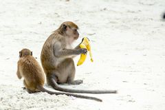 Monkey beach. Group of Crab-eating macaques and banana,  Phi-Phi, Thailand Royalty Free Stock Photography