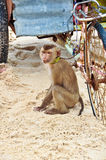 A monkey on a beach and an old rusty bike Stock Images