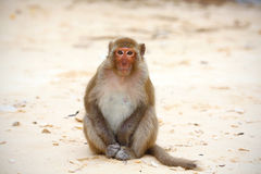 Monkey on the beach, relaxed and friendly looking straight Royalty Free Stock Images