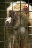 Monkey Behind Bars. A caged macaque looking miserable stock photos
