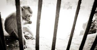 Monkey behind bars Royalty Free Stock Photo