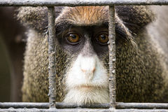 Monkey behind bars. Close up of monkey face behind metal bars Stock Photos