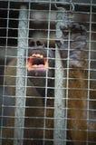 Monkey behind bars Stock Photography