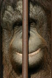 Monkey behind the bars. Face of smiling monkey behind the bars Stock Images