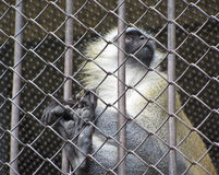 The monkey is behind bars. The monkey is locked in the zoo royalty free stock photo