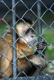 Monkey is behind bars stock image