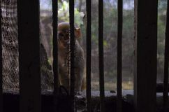 Monkey behind the bars. Trying to go into the house at Vrindavan city, India Stock Images