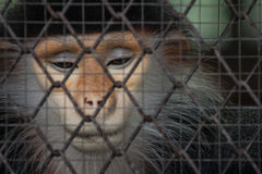 Monkey behind the cage Stock Photo