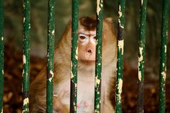 Monkey behind Fence in the Zoo. Monkey holding for the bars in a Zoo Stock Photography