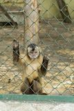 Monkey behind Fence in the Zoo. Monkey holding for the bars in a Zoo Royalty Free Stock Photography