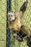 Monkey behind Fence in the Zoo. Monkey holding for the bars in a Zoo Royalty Free Stock Photo