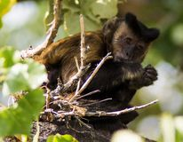 Monkey in tree. Monkey behind twigs at Denver zoo, USA stock image