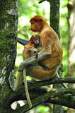 Monkey Bekantan. He proboscis monkey (Nasalis larvatus) or long-nosed monkey, known as the bekantan in Indonesia, is a reddish-brown arboreal Old World monkey Royalty Free Stock Images