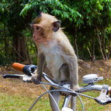 Monkey and bicycle Royalty Free Stock Photography