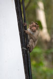 Monkey on billboards. A monkey sits on a billboard stock photos