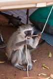 Monkey biting on a rope Stock Photo