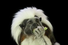 Cotton-top tamarin eating a piece of fruit. This monkey on a black background, a cotton-top tamarin, is eating a piece of fruit Stock Images