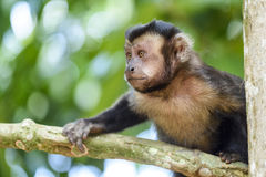 Monkey. Black-capped Capuchin moving between the vegetation of the rain forest forests in Rio de Janeiro Stock Photography