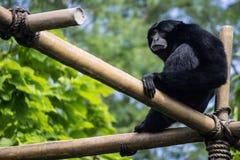 Monkey. Black monkey high atop the tree tops Stock Photography
