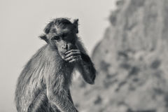 Monkey. Black and white image of a monkey facing away from the camera with blur background stock photos