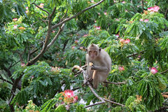 Monkey on a blossoming acacia Royalty Free Stock Image