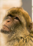 Monkey in Bohol Phillipines staring at the camera. Bohol Philippines monkey staring at the camera Royalty Free Stock Image