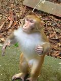 Monkey. The bold monkey stood up and rob food with me Royalty Free Stock Photography