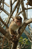 Monkey - Bonnet Macaque (Macaca radiata). In National park Minneriya of Sri Lanka royalty free stock photo