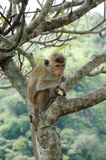 Monkey - Bonnet Macaque (Macaca radiata). In tropical forest of Sri Lanka Stock Photos