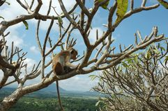 Monkey - Bonnet Macaque (Macaca radiata). In the tropical forests of South-eastern Asia stock photo