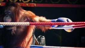 Monkey Boxing With Orangutans stock video footage