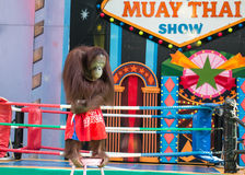 Monkey Boxing Show Royalty Free Stock Photo