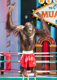 Monkey Boxing Show Royalty Free Stock Image