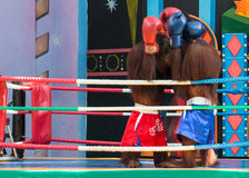 Monkey Boxing Show Royalty Free Stock Images