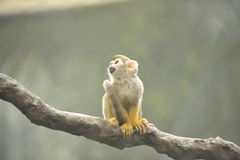 Monkey on branch. Little monkey sitting on a branch in the rain forest Stock Photo