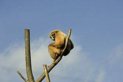 Monkey on branch. Monkey posing on top of the branch Royalty Free Stock Photography