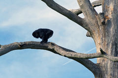Monkey on branch Royalty Free Stock Photos