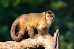 Monkey on a branch Stock Photo