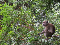 Monkey on branch feeding Royalty Free Stock Images
