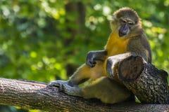 Monkey on a branch Stock Photos