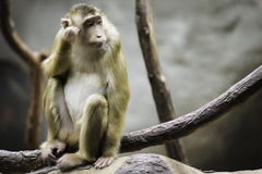 Monkey on branch Stock Photography