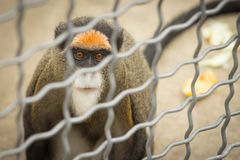 Monkey Brazza in a cage royalty free stock image