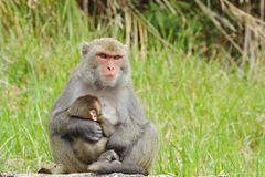 Monkey breast feeding baby Stock Images