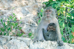 Monkey breast feeding Royalty Free Stock Images