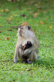 Monkey breastfeed her baby. Female long tailed monkey is breastfeeding her baby Stock Photo