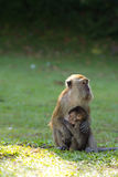Monkey breastfeed her baby. Female long tailed monkey is breastfeeding her baby Royalty Free Stock Photos